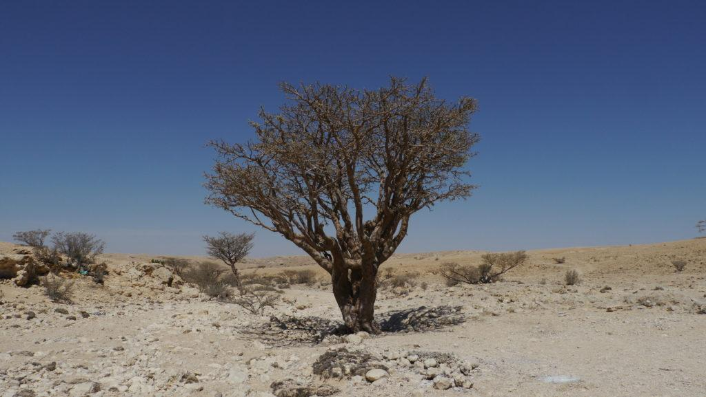 The fine quality of frankincense resin is harvested from frankincense trees in the Nejd area. Salalah West Coast Trip.