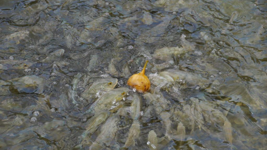 fish in Darbat river
