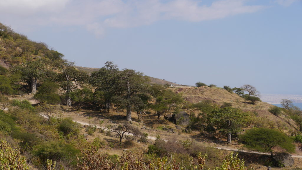 Baobab trekking tour takes you to the baobab forest nature reserve hidden in a green valley near Salalah.