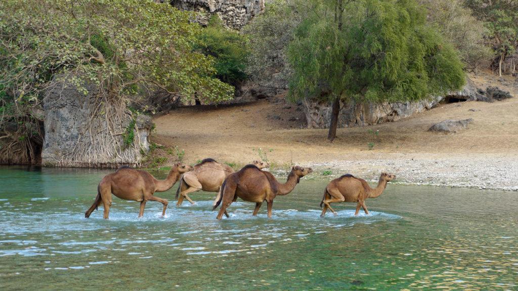 Camels crossing the river in Wadi Darbat, East of Salalah trip.