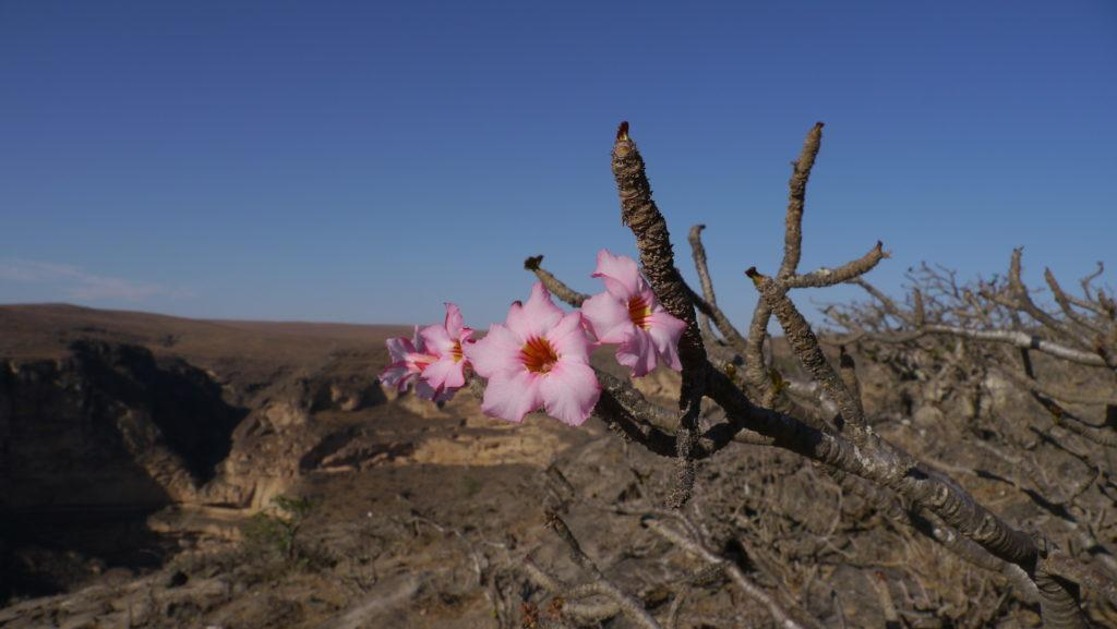 Desert rose, Adenium Obesum, Mountain Safari trip from Salalah to Taiq Cave.