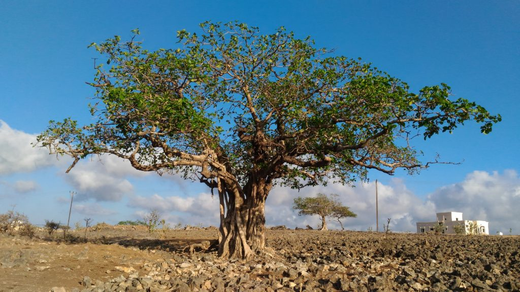 Ficus vasta, seen on the Mountain Safari trip from Salalah.
