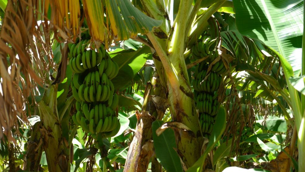 Salalah vast plantations of bananas and coconut palms make a hallmark of Salalah city tour.