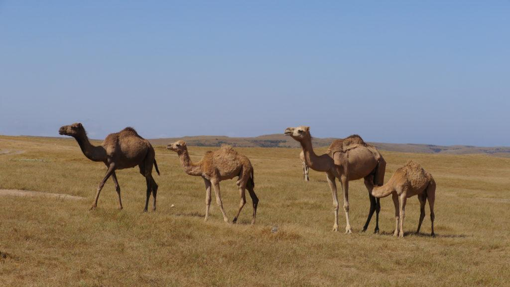 The most numerous camel herds in Oman could be found in Dhofar. Day with Omani camel herdsmen. Trip from Salalah.