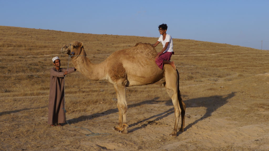 Riding camels without saddle is a favourite entertainment for Omani tribesmen. Tour from Salalah. Day with camel herders.