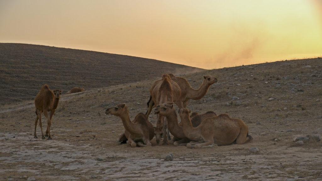 Camels are returning from the pastures in Dhofar Mountains above Salalah. Day with camel herdsmen. Trip from Salalah.