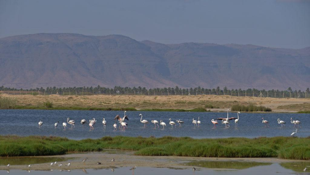 Dahariz lagoon is excellent spot for birdwatchers in Salalah. Salalah city tour.