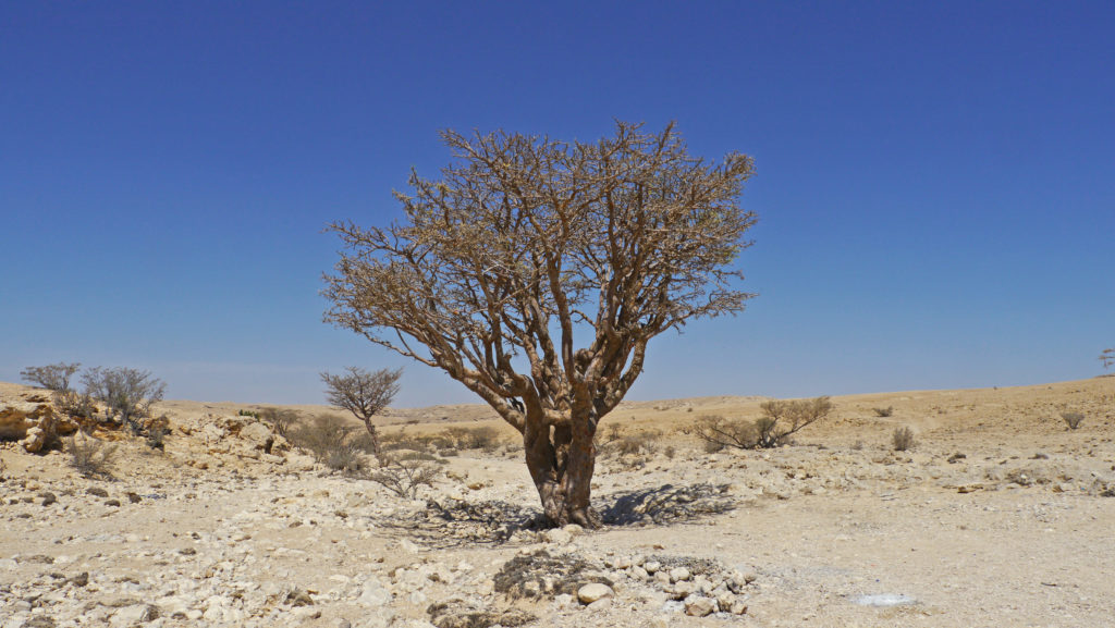 Fine frankincense is harvested from the trees in Dhofar Mountains. Trip from Salalah. Day with Omani camel herdsmen.