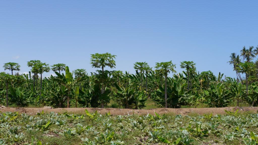 Salalah plantations cover huge area in central Salalah, mostly bananas, coconut palms and papaya are grown there. Salalah city tour.